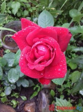 Розы металлиста купить торговля цветы где можно купить пенза